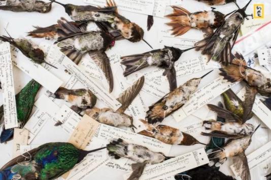 Как в США поставили убийство колибри на промышленный поток и причём тут магия
