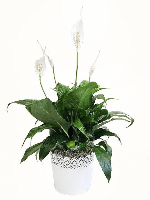 Комнатные цветы, полезные для здоровья