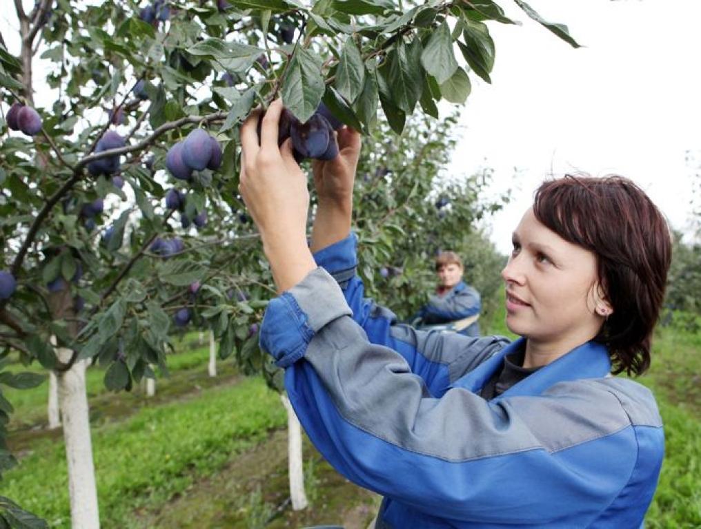 Болеет слива: как не лишиться вкусных плодов