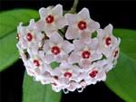 Цветки хойя: звезды, влюбленные в солнце