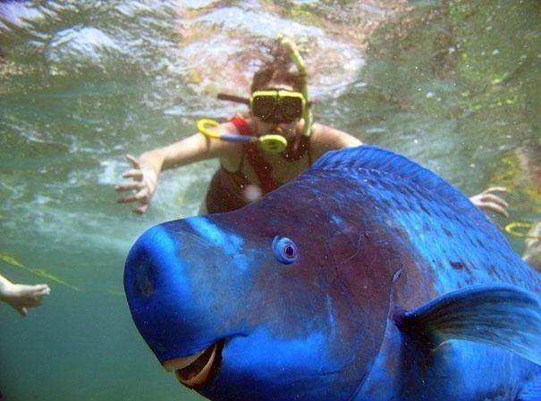 Синяя рыба-попугай в воде