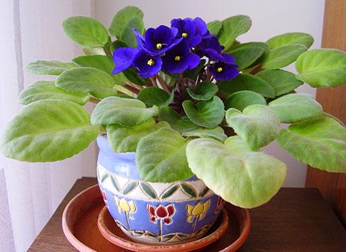 С этим средством фиалки цветут и пахнут даже зимой