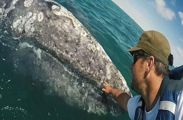 Детеныш кита подплыл к туристам, чтобы они его погладили