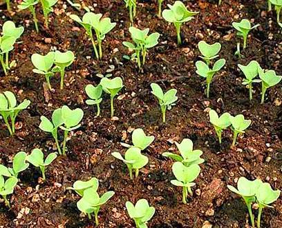 ампельная клубневая бегония выращивание из семян