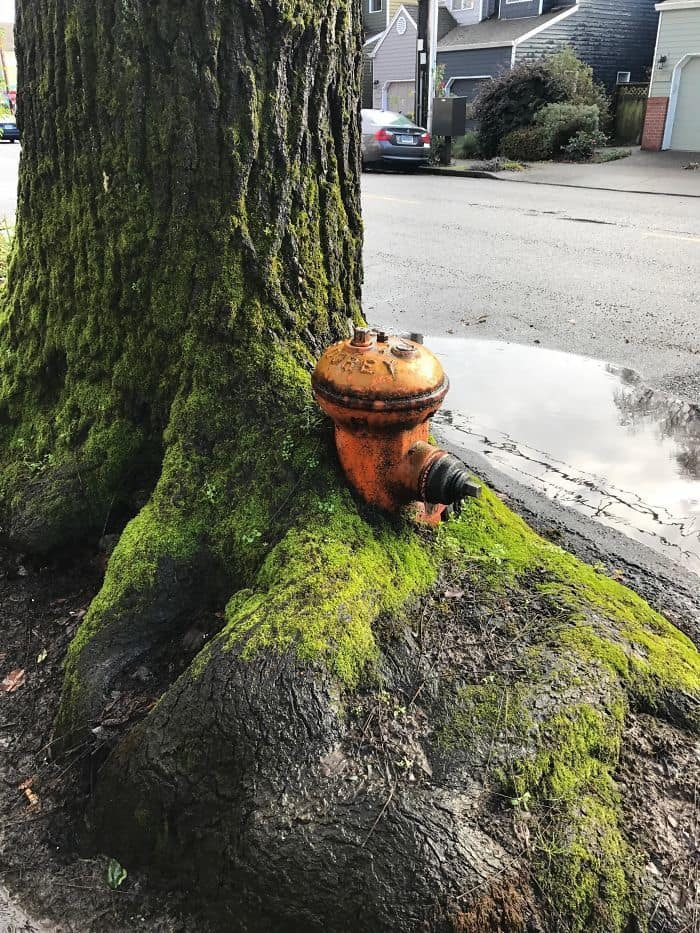 This Tree Grew Around A Fire Hydrant