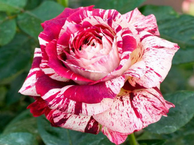 В Никитском ботсаду открылась выставка роз - Новости - Бахчисарай - TastedBy.Me