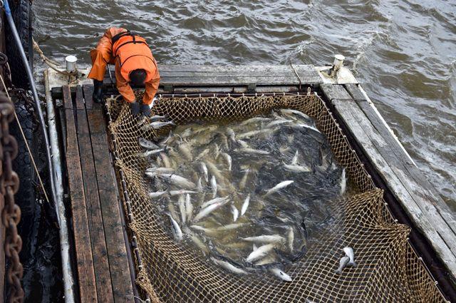 Рекордные показатели рыбной отрасли. Подведены итоги лососевой путины