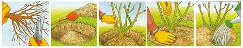 Как посадить розу Moyesii