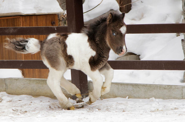 В екатеринбургском зоопарке родилась лошадка с разноцветными глазами