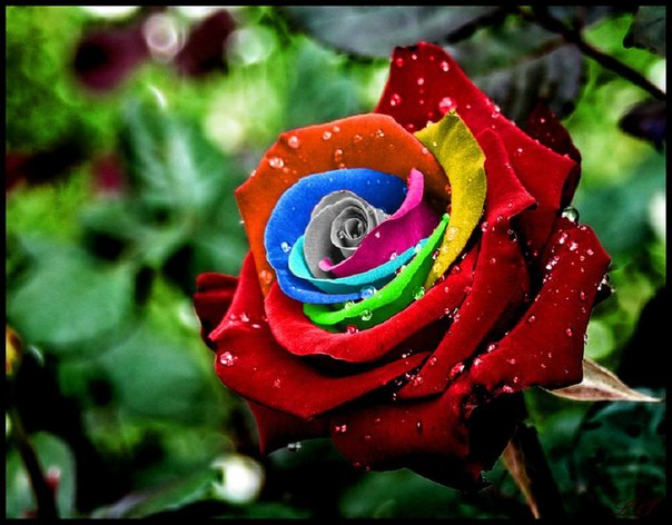 «Выращиваем» живые радужные розы!