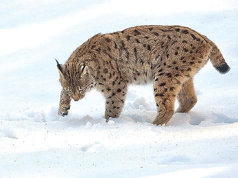 Охота на рысь: успешная пятая попытка