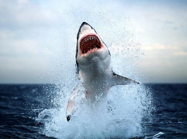 У берегов США акула сама запрыгнула в лодку к рыбакам