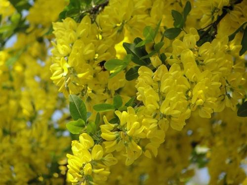 Колючая живая изгородь из акации желтой – фото и основные правила ухода