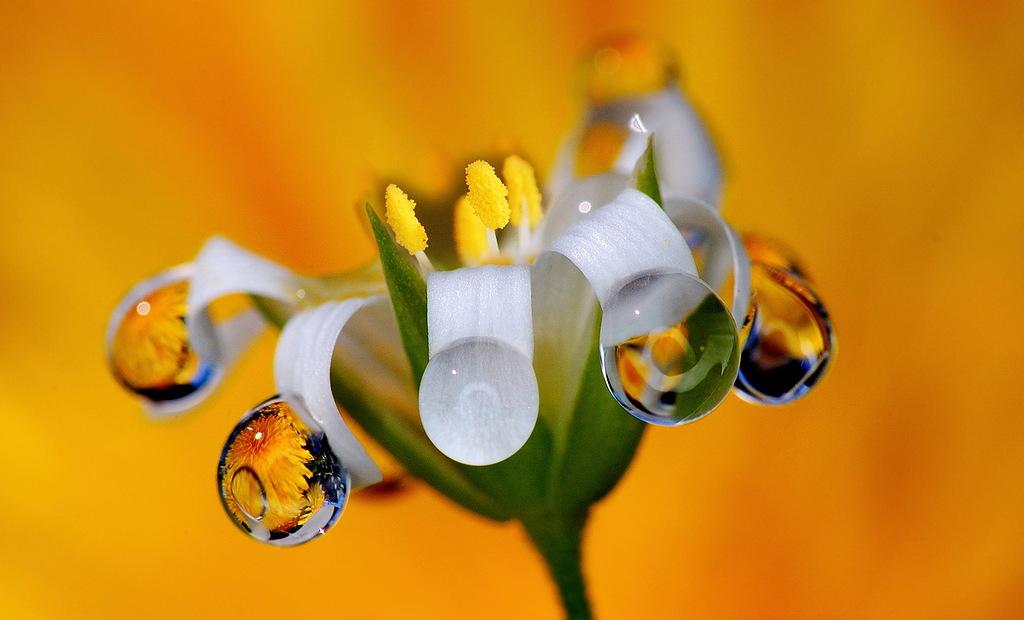 Роса на цветах макросъемка