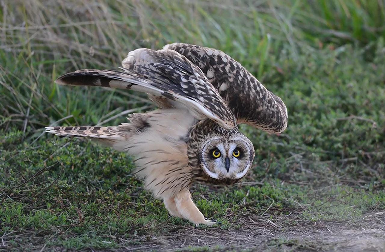 Как у сов получается поворачивать голову на 270°?