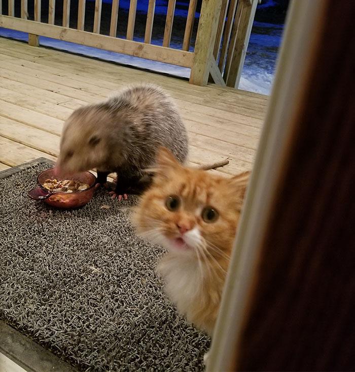 Абсолютный хит: комичная реакция кошки на опоссума, похитителя кошачьей еды