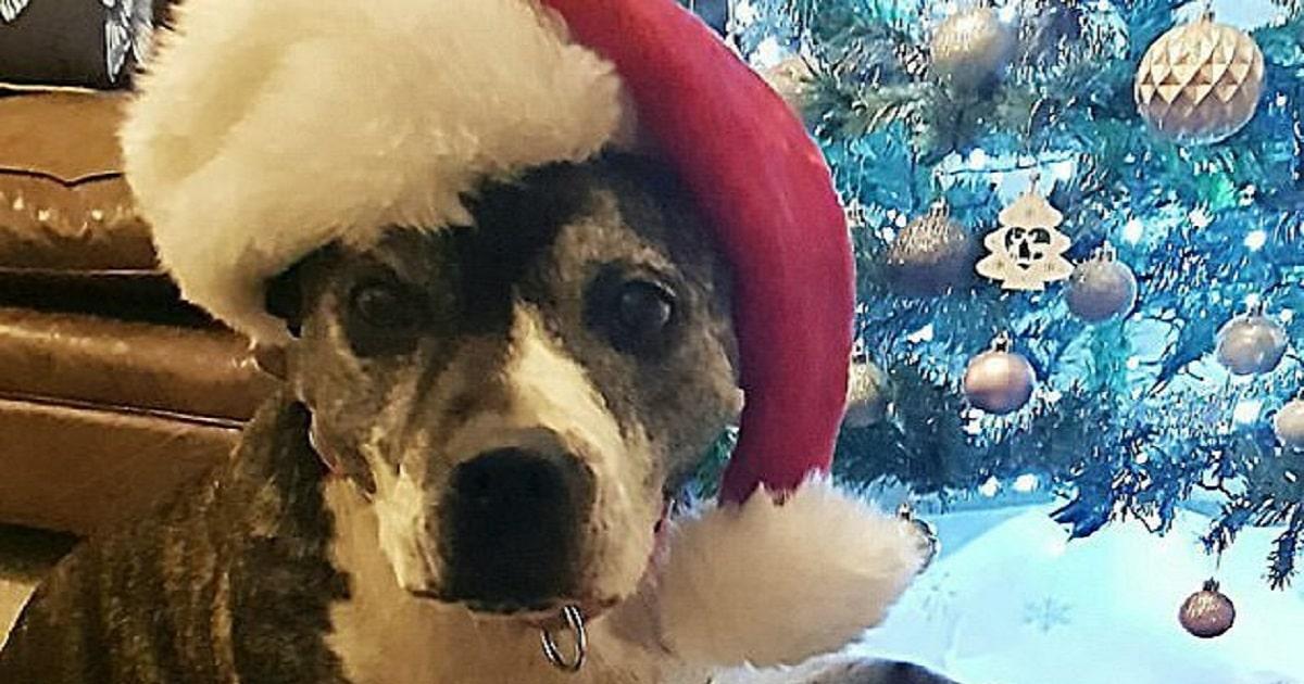 «Рождество для Рокси»: в праздник собака наконец-то попала в дом к людям после восьми лет одиночества