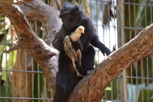 В израильском зоопарке одинокая обезьяна усыновила цыпленка