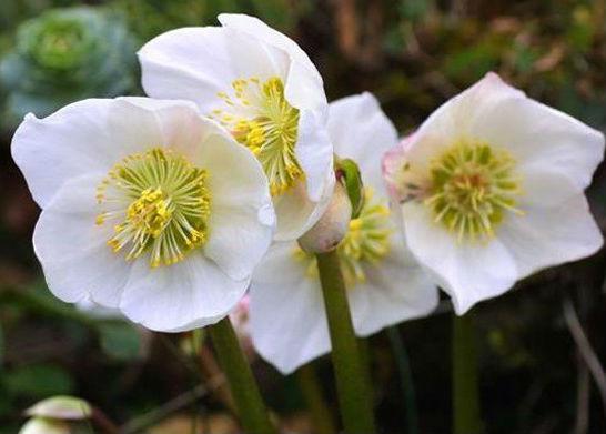Цветы морозник (сад, огород)