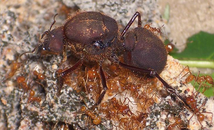 Матка муравьев атта