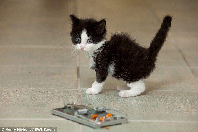 Котенок, который потерял лапку в мышеловке, но обрел любящих хозяев