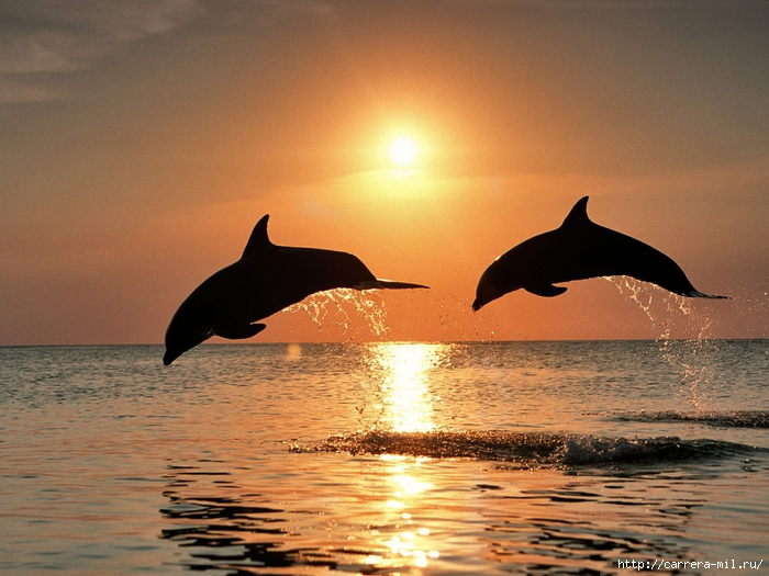 4346067_magspace_ru_Animals_Under_water_Bottlenose_dolphins_after_the_sunset_005519_ (700x525, 286Kb)