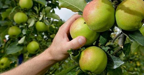 Когда нужно собирать урожай яблок и груш, чтобы они дольше хранились?