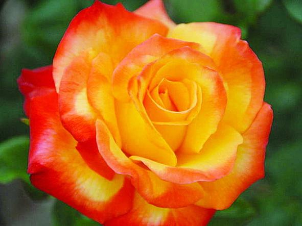 Конфетти - роза мир растений