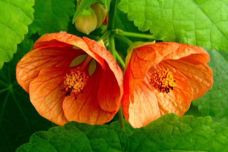 Цветок Абутилон гибридный Смесь Бельвю, семена Интернет-магазин RUScemena.ru