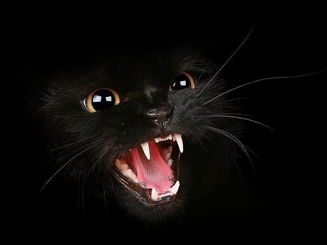 """Скачать бесплатные обои """"Черная-злая кошка"""" для рабочего стола в разрешении 1680х1050 по тегам - котик икла зубы"""