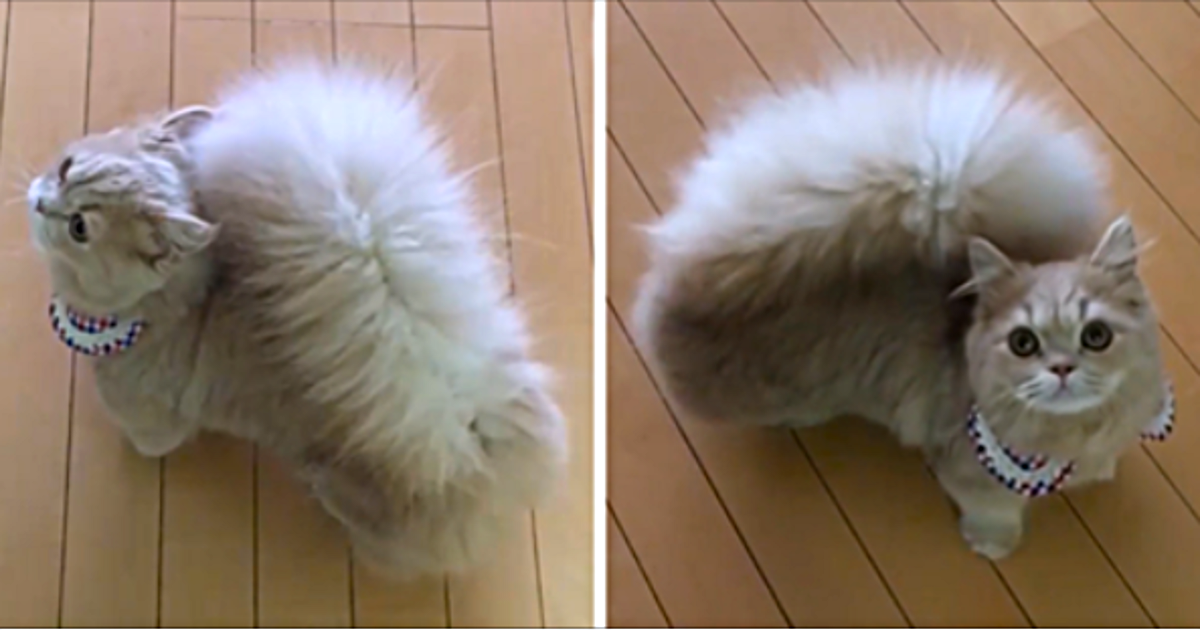 Знакомьтесь — это Бель! Кошка с величественным хвостом как у белки!