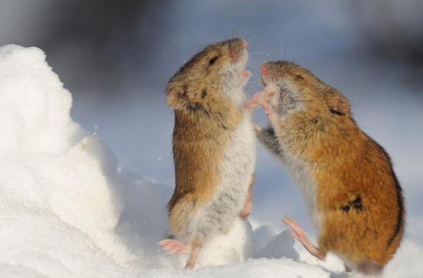 Новосибирские ученые выяснили, что мыши хорошо считают