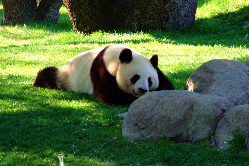 Панды заключают браки по любви