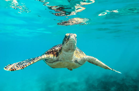Черепахи Большого Барьерного рифа рискуют остаться без самцов