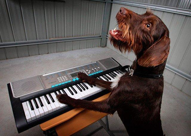 Песик играет на фортепиано и подпевает себе. Это что-то с чем-то!