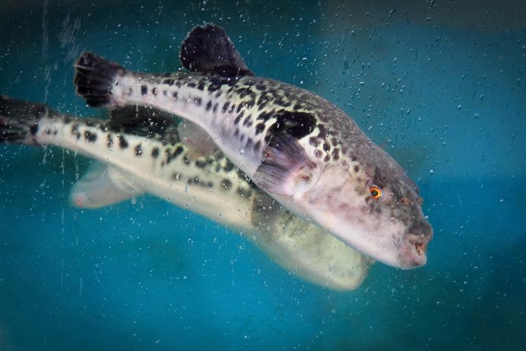 Ядовитая рыба фугу.  <div id=
