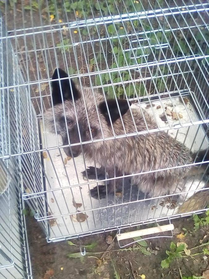 Волонтеры спасли 13 чёрно-бурых лис, которых хотели пустить на шапки и воротники