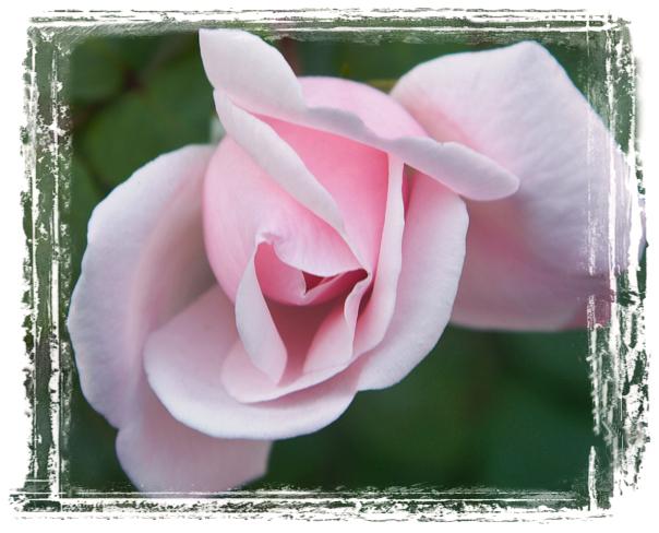 Королева цветов - немного истории