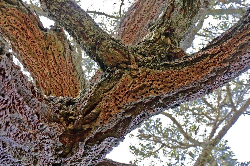 Дятел начал долбить, и вы не поверите, что произошло потом woodpecker did it, дятел, дятлова работа, на дерево без слёз смотреть нельзя