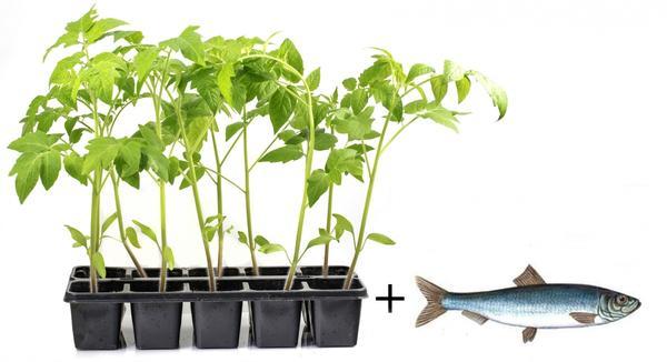 Положите рыбку под помидорную рассаду!