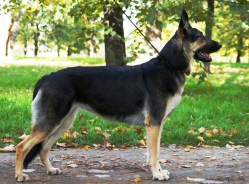 собака сталина мини:
