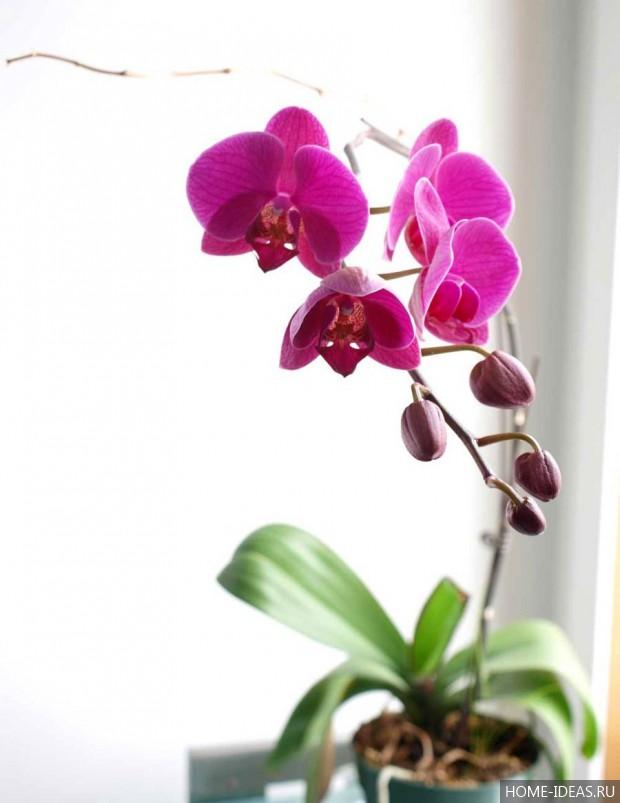 Орхидея ее разновидности уход в домашних условиях