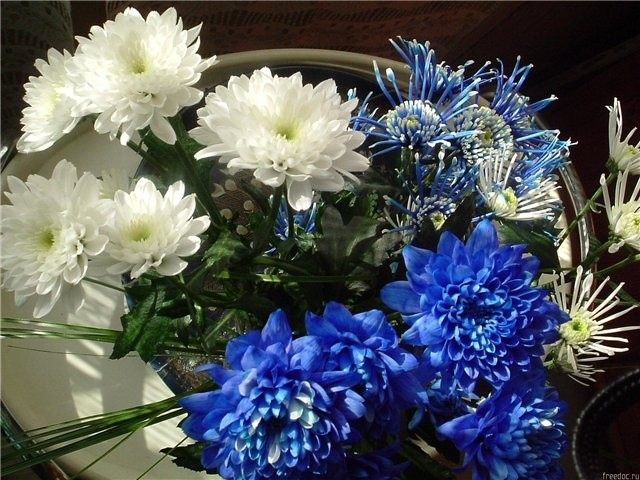 Обои Хризантемы Цветы Фото 241220