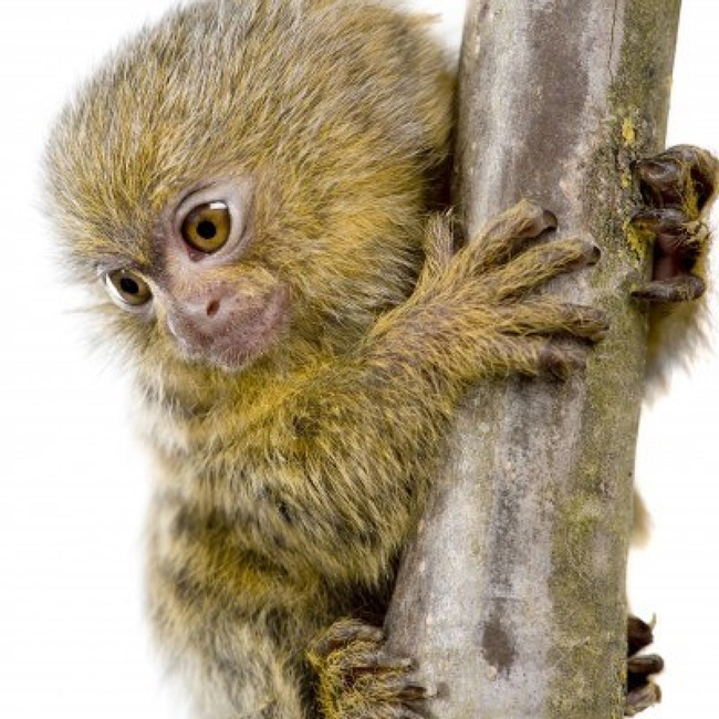 2935526-pygmy-marmoset-5-weeks--callithrix-cebuella-pygmaea-in-front-of-a-white-background