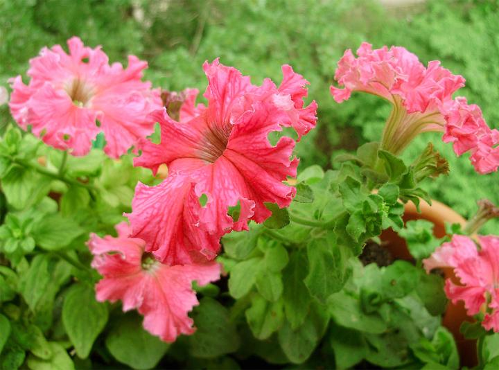 Что такое фриллинтуния и как ее выращивать