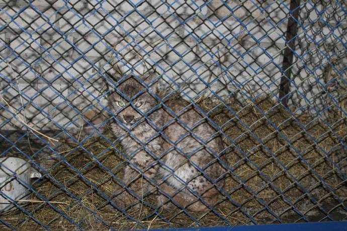 В Чувашии приютили оголодавшего рысенка