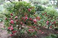Маломерные кустарники, которые можно посадить на участке