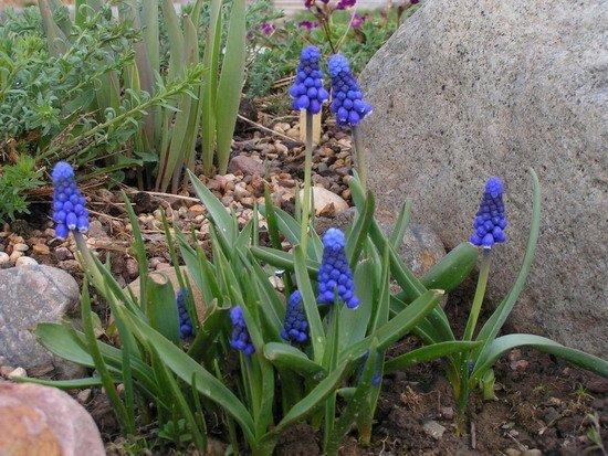 Луковичные в дизайне сада