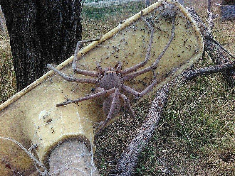Ученые выяснили, что австралийские пауки способны уничтожить население материка всего за год