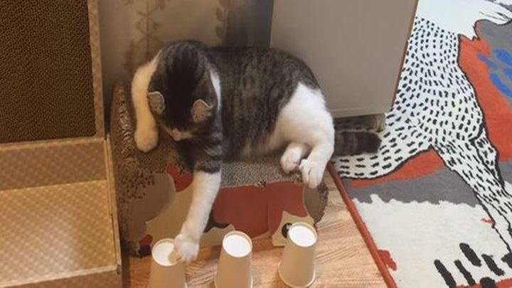 Искусно играющий в наперстки кот стал звездой Интернета